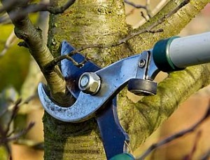 Tree Pruning in Choctaw Oklahoma