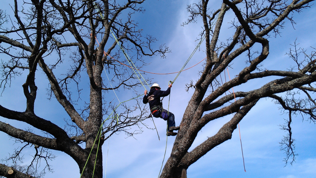 Brent Pendergraft - Arborist at work